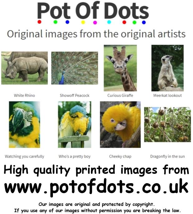 Mandarin duck photo print